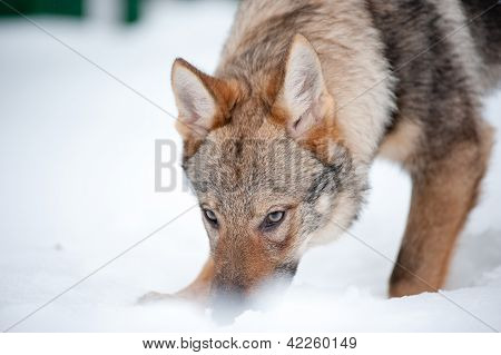 Young Wolf Sniffs The Ground