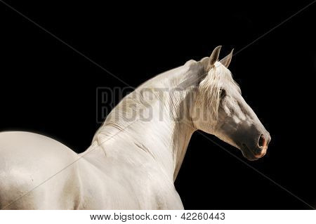 white andalusian horse portrait on black