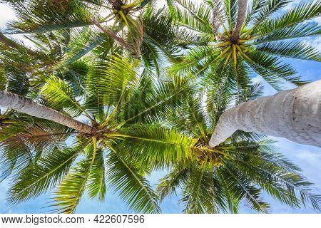 Nature Scene Uprisen Angle Of Coconut Tree With Blue Sky Background At Phuket Thailand - Summer Seas