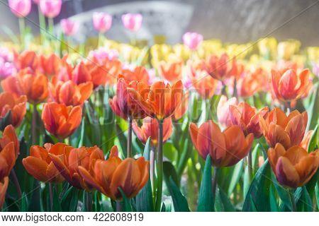 Beautiful Tulip In The Garden, North Thailand.