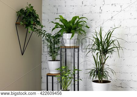 Green Houseplants On Stand By White Brick Wall In Living Room. Air Purifying Plants In Home