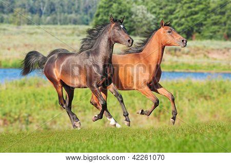 two chestnut arabians in the field