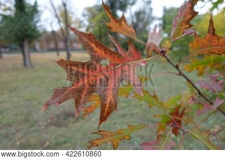 Serrated Leaf Of Red Oak In October