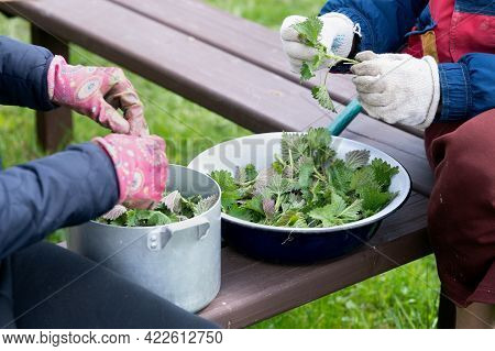 Gloved Female Hands Sorting Nettle Leaves For A Soup Preparation