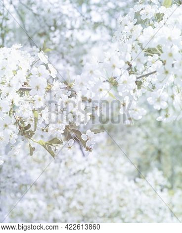 Delicate Blooming Spring Summer Light White Blurred Background With Soft Focus. Flowers On The Tree,