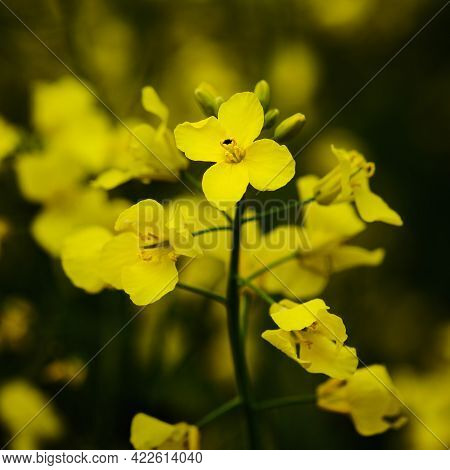 Blooming Rapeseed Yellow Oilseed Plant Close Up Detail