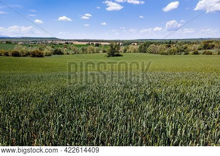 Cereal Fields Grown In Nature With Blue Sky And White Clouds. Castilla Spain.