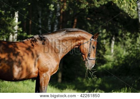 bay horse stallion portrait in summer time