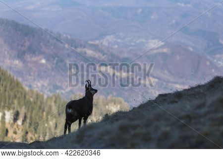 Wildlife Scene With Chamois On The Hill, Deep Valley In Background, Carpathian Mountains.