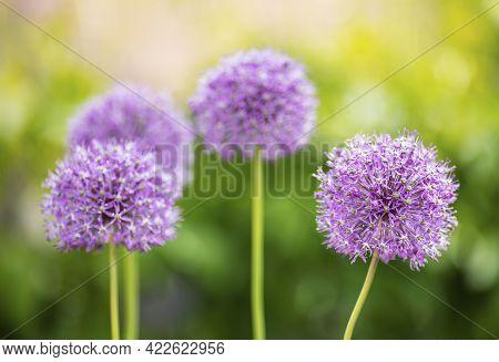Beautiful Blooming Purple Giant Allium Onion Flowers In The Summer Garden. Allium Giganteum.