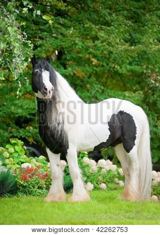 Beautiful Paint Draft Horse With Long Mane