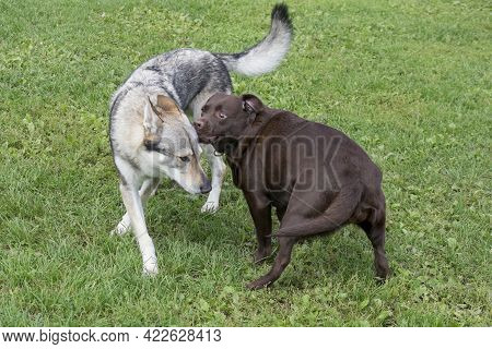 Czechoslovak Wolfdog And Labrador Retriever Puppy Are Playing On A Green Grass In The Summer Park. P