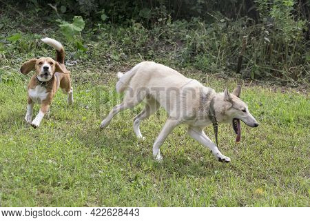 West Siberian Laika And English Beagle Puppy Are Playing And Running On A Green Grass In The Summer