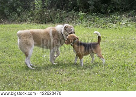 Central Asian Shepherd Dog Puppy And English Beagle Puppy Are Standing On A Green Grass In The Summe