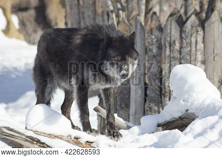 Black Canadian Wolf Is Looking At The Camera. Canis Lupus Pambasileus. Animals In Wildlife.