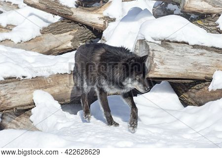 Wild Black Canadian Wolf Is Standing On A White Snow. Canis Lupus Pambasileus. Animals In Wildlife.