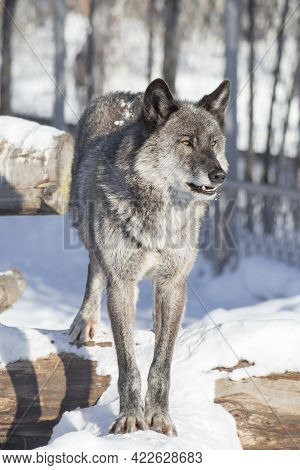 Cute Black Canadian Wolf Is Standing On A White Snow And Looking Away. Canis Lupus Pambasileus. Anim
