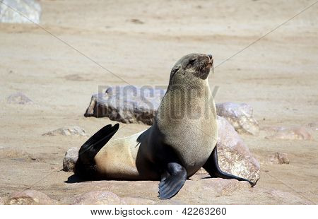 Colony of seals at Cape Cross Reserve Atlantic Ocean coast in Namibia. poster