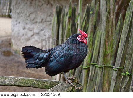 Rooster Dominant Annealed, Chicken (gallus Gallus F Domestica) . Czech Republic