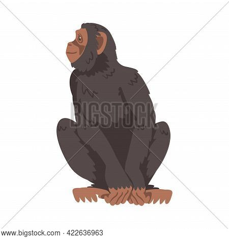 Chimpanzee Monkey As Great Ape Specie Native To Tropical Africa Vector Illustration