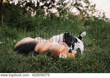 Welsh Corgi Pembroke Tricolor And Black And White Smooth Haired Jack Russell Terrier Play In Grass B