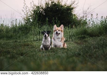 Walk In Park With Two Dogs. Pembroke Tricolor Welsh Corgi And Black And White Smooth Haired Jack Rus