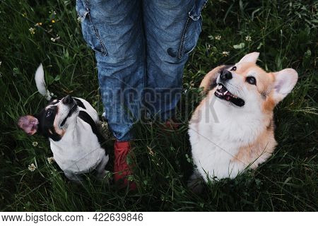 Walk With Two Adorable Purebred Dogs In Nature. Welsh Corgi Pembroke Tricolor And Black And White Sm