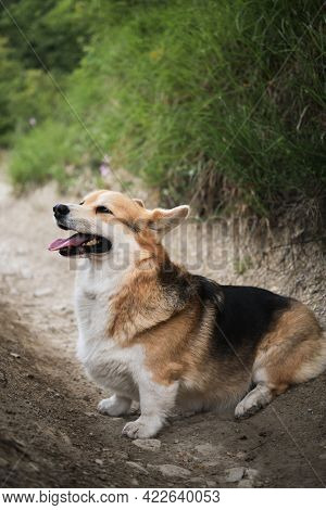 Pembroke Tricolor Welsh Corgi Sits In Forest On Path Against Background Of Green Grass And Foliage.