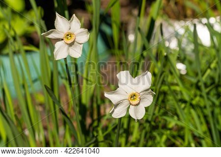 Russia. May 31, 2021. With The Onset Of Heat, Daffodil Flowers Bloomed In The City's Flower Beds And