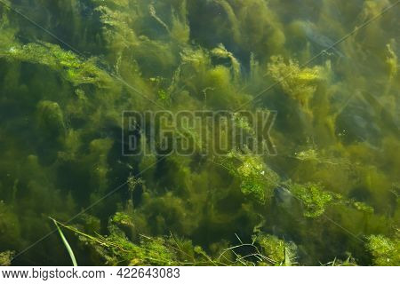 Algae Underwater. Algae On The Shore Of The Lake. Pure Nature