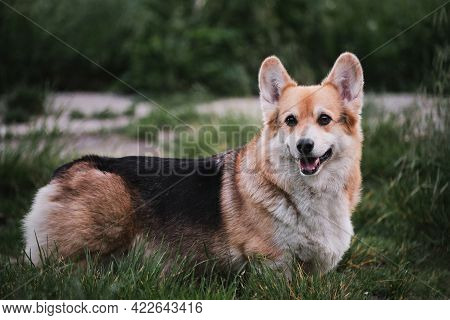 Worlds Smallest Shepherd Dog. Pembroke Tricolor Welsh Corgi Stands In Park On Green Grass And Smiles