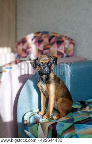 Small Brabancon Dog Sitting On The Couch Tucked In A Blanket In A Colored Triangle