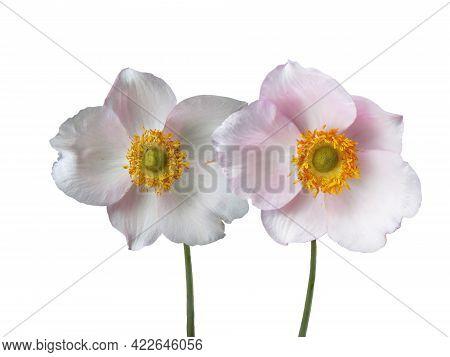 Anemone Hybrida (japanese Anemone, Thimbleweed, Windflower, Chinese Anemone). White Flower With Yell