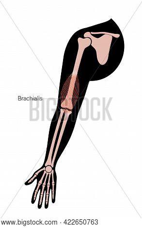 Human Brachialis, Muscular System Concept. Humerus, Radius, Ulna And Scapula Bone Anatomical Poster.