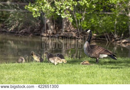 Canada Goose Aka Canadian Goose With Her Gosling Babies At Pond In Spring