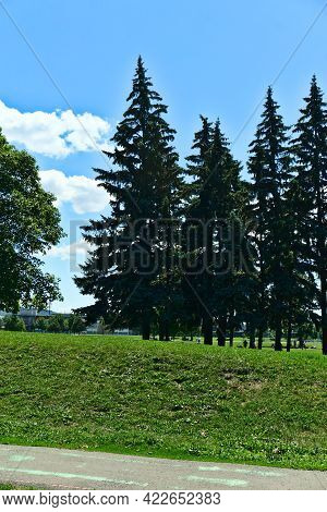 Vertical View Of A Group Of High Pine Tress With A Background Of Cloudy Blue Sky On A Sunny Summer D