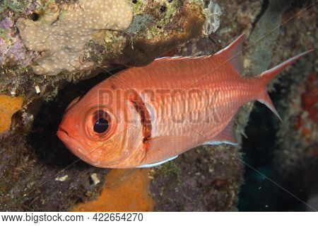 Blackbar Soldierfish On Coral Reef Off The Tropical Island Of Bonaire In The Caribbean Netherlands.