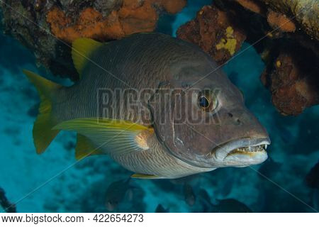Schoolmaster On Coral Reef Off The Tropical Island Of Bonaire In The Caribbean Netherlands.