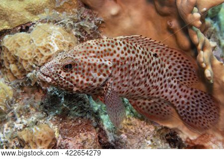 Graysby Grouper On Coral Reef Off The Tropical Island Of Bonaire In The Caribbean Netherlands.