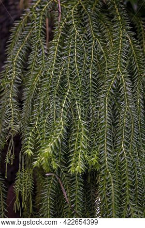 Hanging Fronds Of An Ornamental Conifer Fern