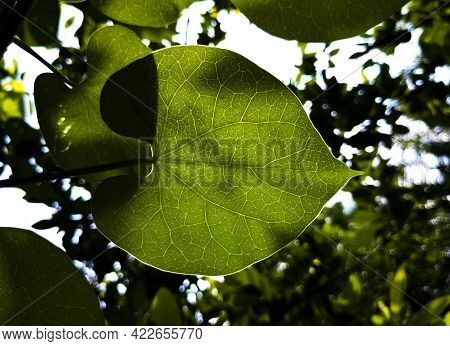A Backlight Shot Of Ayurvedic Plants Leaf Isolated In Garden
