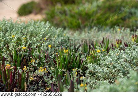 Flowers Formentera Beach Of Calo D Es Mort In Balearic Islands.
