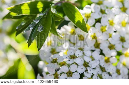 Thunberg Spiraea White Flowers And Green Leaves With Drops Of Rain. Bokeh With Sunlight Reflection