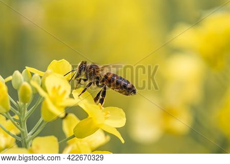 Flying Honey Bee Collecting Bee Pollen From Yellow Rapeseed Blossom. Bee Collecting Honey.