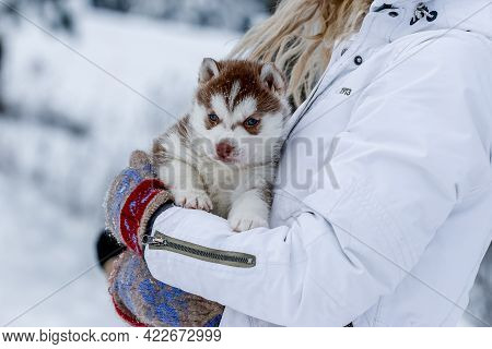 Cute Husky Puppies, Felt Boots In The Snow And Husky Puppy, Winter Card With Puppies
