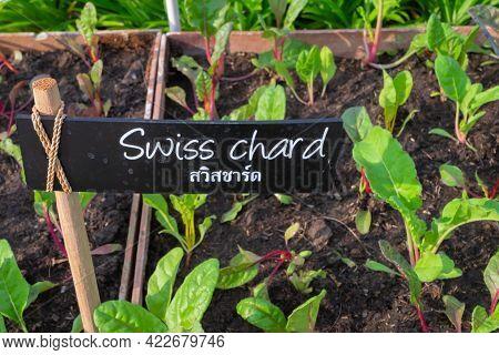Swiss Chard In Backyard, Organic Vegetables Are Grown In Plots, Fresh Salad, Healthy Food.
