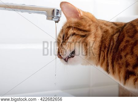 Bengal Cat Drinks Fresh Tap Water To Quench His Thirst