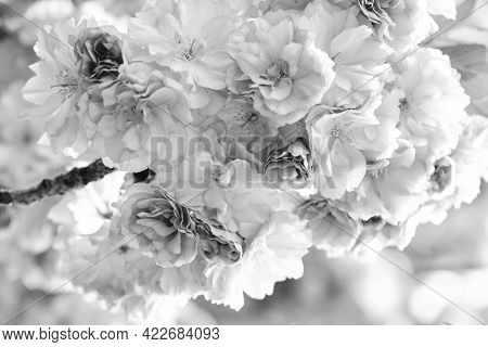 Tenderness. Branch Of Sakura. Perfumery Concept. Sakura Flowers. Sakura Flowers On Background Close