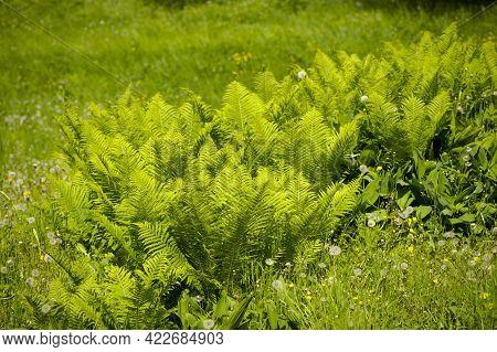 Beautyful Ferns Leaves Green Foliage Natural Floral Fern Background In Sunlight. Natural Landscape,