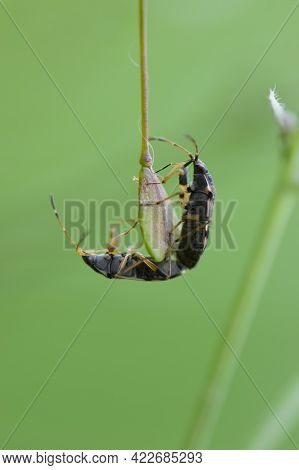 Shield Bugs Mating. Two Beetles Mate, Insects Reproduce, Continuation Of The Genus. Heteroptera. Pen